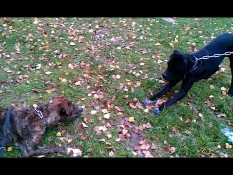 Vidéos Berger d'Anatolie, chiens de race Berger d'Anatolie