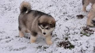 Giant Alaskan  Malamutes / 8 wk old puppies