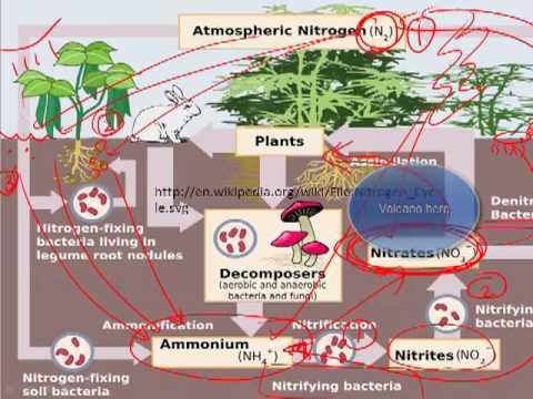 Model Nitrogen Cycle Nitrogen Cycle