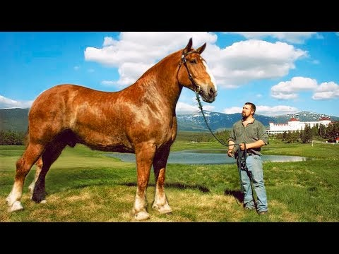 THE BIGGEST HORSES In The World
