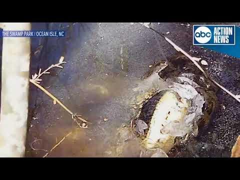 Alligators stick snouts through ice to survive freezing conditions, swamp park says