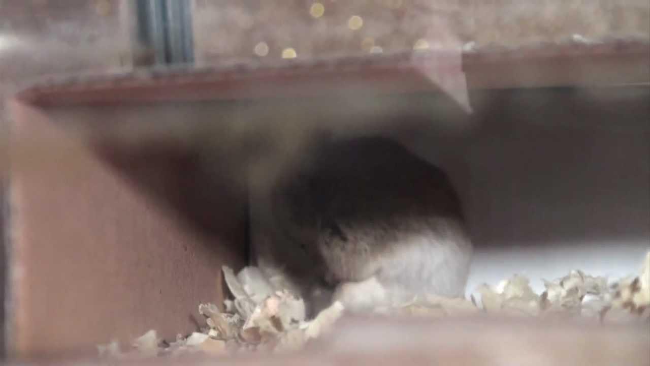 ハツカネズミの画像 p1_39
