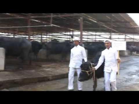 maratha konkan dairy farm youtube