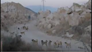 ''köpek sürüsü'' deyiminin tam karşılığı (dog swarm)