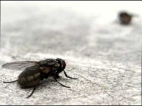 C mo ahuyentar las moscas de la casa youtube - Como sacar las moscas de la casa ...
