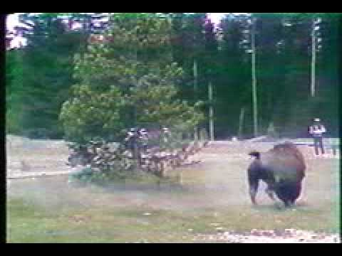 Bison Charges at Tourist