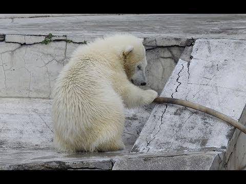 諦めないで努力するホッキョクグマ~Polar Bear is trying hard to carry the hose