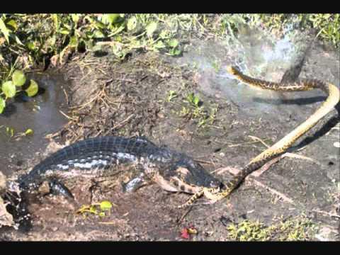 caiman vs yellow anaconda   youtube