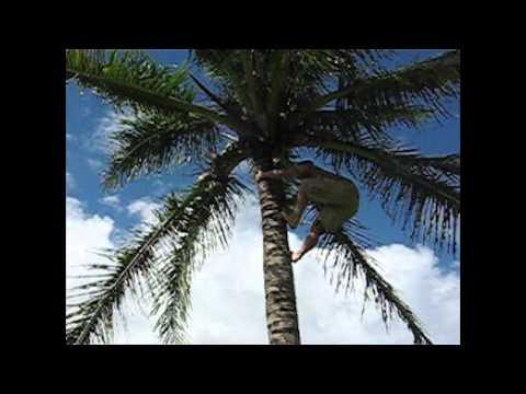 How to Climb a Coconut Tree- Tongan Style