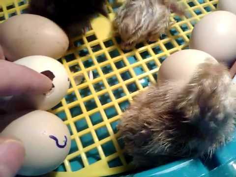 вылупление цыплят из инкубатора видео Термобелье флис сочитаются