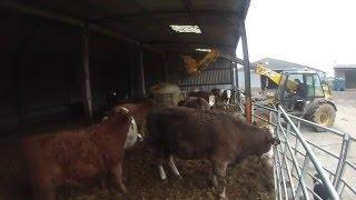 download lagu Feeding Cattle Silage gratis