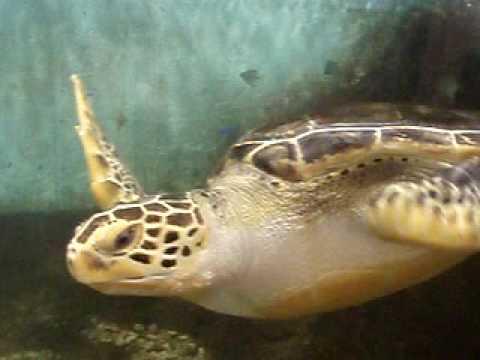 天王寺動物園・アオウミガメ