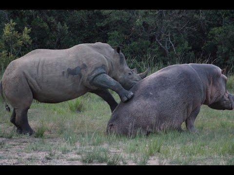 Rhino and Hippo Date Night Part 1