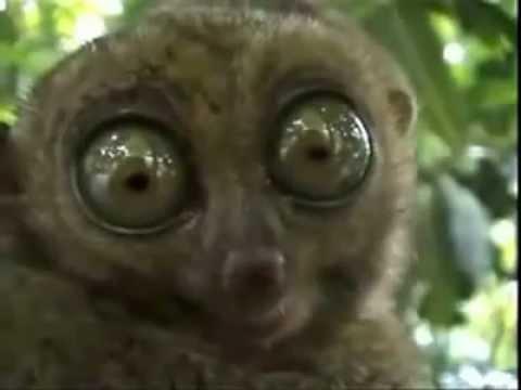 THX slow loris with big eyes - YouTube Potc