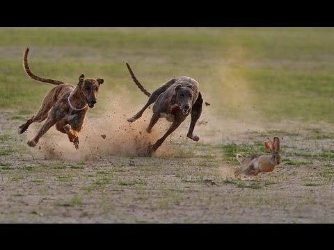 Khargosh Ka Shikar  Rabbit Race Greyhound Parhal 2004-2005 Part...
