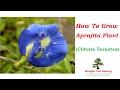 Download Aparajita Plant || How to Grow Aparajita (Clitoria Ternatea) Plant. || Budget Gardening || (Hindi) in Mp3, Mp4 and 3GP
