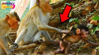 Look! How Dutch monkey catch newborn Solo|Queen care her baby much but still lost|Monkey Daily 225
