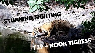 Ranthambore Tiger Sighting - T39 Noor Drinking Water
