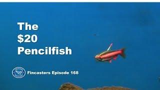 The $20 Pencilfish in the Tannin Aquarium Fincasters Episode 168
