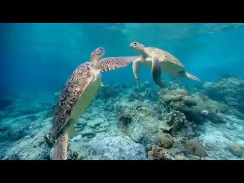 Dangerous Breeding - Turtle's Guide to the Pacific - BBC Earth