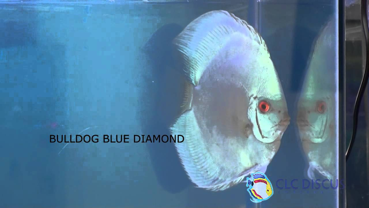Albino Bulldog Blue Diamond Fish Bulldog Blue Diamond