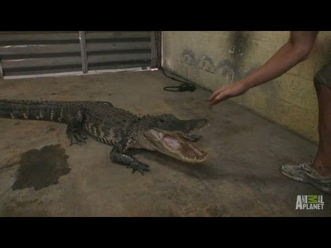 gator in the garage gator boys a scared gator finds its way into a