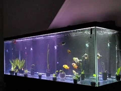 My 180 gallon fancy goldfish tank with all 9 of my goldies for Fancy fish tanks