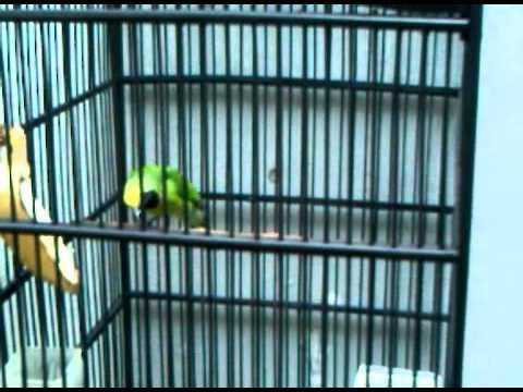 Cucak Ijo Kepala Kuning video