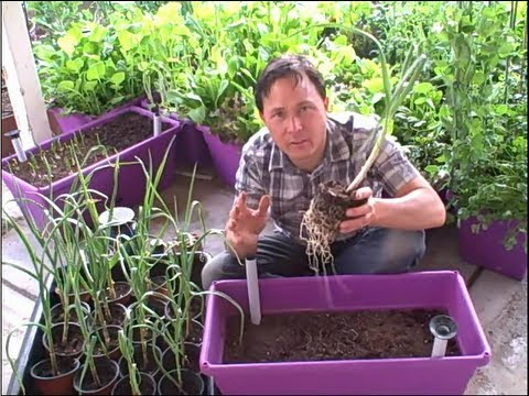 Planting 21 Garlic Plants in Self-Watering Container Garden