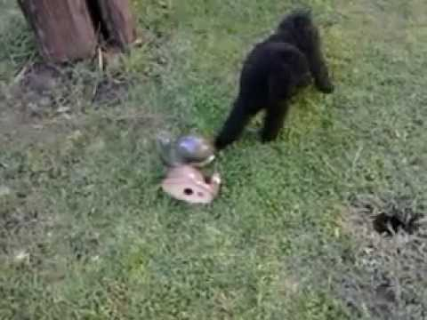 funny toy poodle is fighting whit ceramic snails
