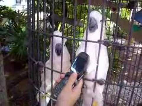 Cockatoos and Cell Phone