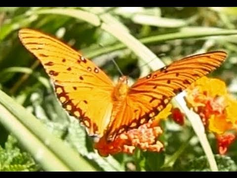 Dance of the Butterflies: Slow Motion Gulf Fritillaries 720p HD Upscaled Casio EX-F1