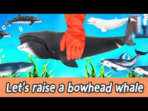 [EN] Let's raise a bowhead whale! animals names for kids, coco's animation, collecta #196ㅣCoCosToy