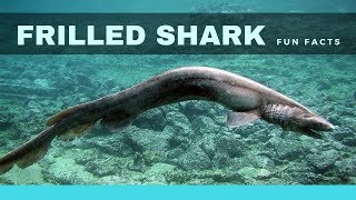 Frilled shark facts for kids – An Interesting and Fascinating Shark