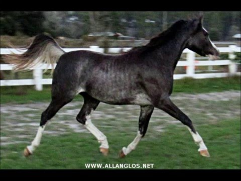 Black Arabian filly dancing at the trot