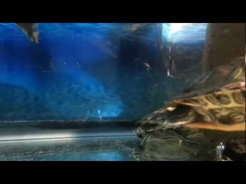 Fish Eating Fish Game Turtles Eating a Betta Fish