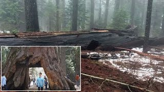 Famous California Tree That Draws Crowds Topples Over In Storm