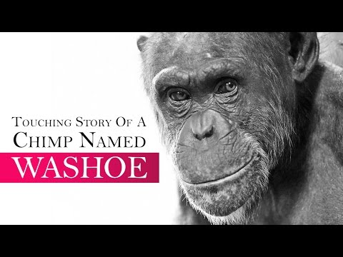 Touching Story Of A Chimp Named Washoe