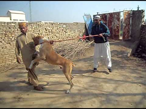 my bully kutta in pakistan 2