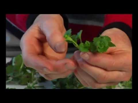 Wildkräuter Und Essbare Heilpflanzen: Gundermann