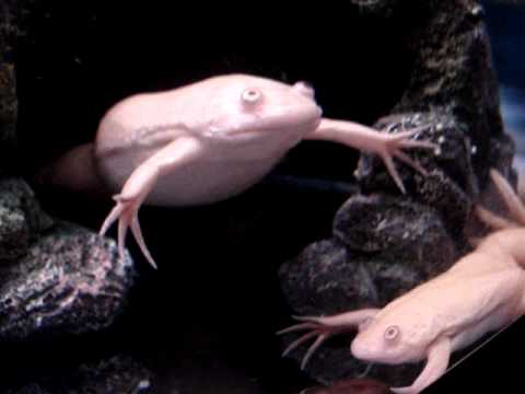 Albino African Clawed Frog Albino African Clawed Frogs