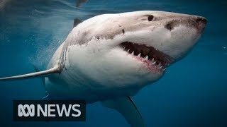 Scientists track great white sharks with underwater microphones | ABC News