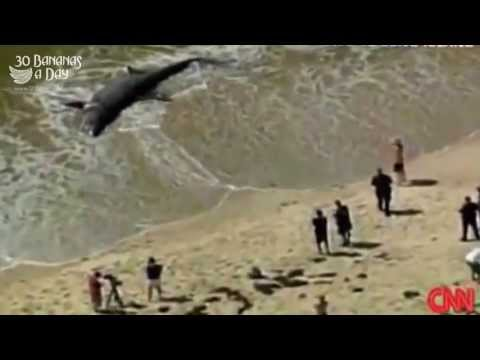 Giant Megalodon Shark Washed Ashore Australian Beach. Real or Fake?