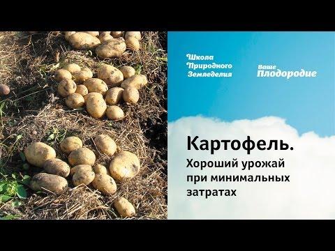 Картофель. Хороший урожай при минимальных затратах