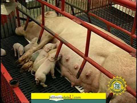 Cerdos gestación y parto