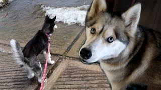 Huskies back in Pure Michigan | Travel Vlog