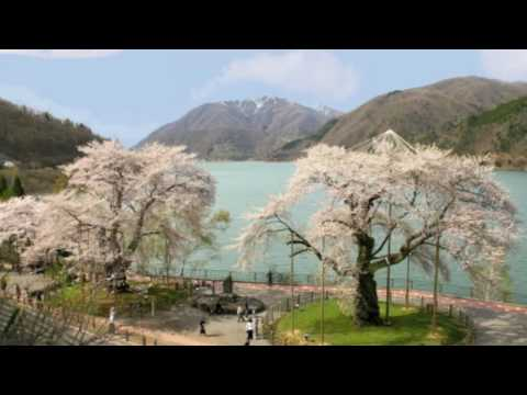 [HD] 荘川桜物語  Cherry blossoms  Story in Japan 花の名所案内