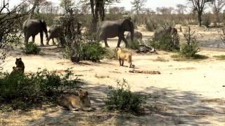 Midday action at a Waterhole  the Savuti , Botswana