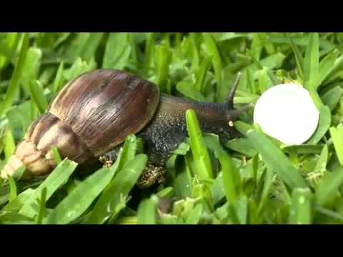 Florida Hit By Outbreak Of Giant Land Snails