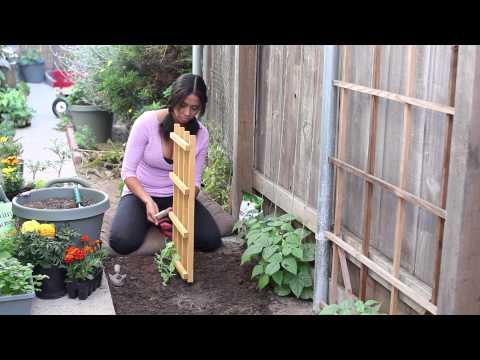 Growing Sugar Snap Peas Trellis How to Grow Sugar Snap Peas
